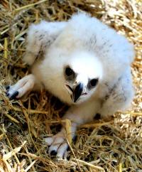 Golden Eagle chick