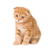 The Scottish Fold Kitten - Irresistibly Cute