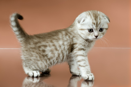 Healthy Scottish Fold kitten