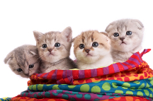 Litter of Scottish Fold kittens