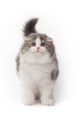 Scottish Fold Cats Ear Problems