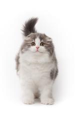 Scottish Fold Cat Long-hair