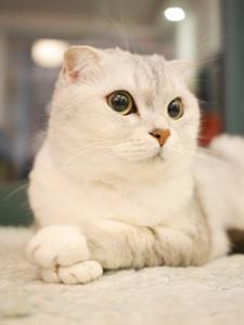 Sweet Scottish Fold cat (aka Highland Fold)