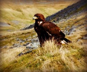 Golden Eagle perched on rocky hillside
