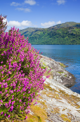 Scottish heather growing wild beside a loch