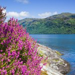 Scottish Heather growing wile on the shore of a loch