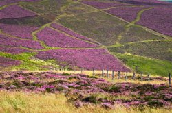 Scottish heather on the hillsides