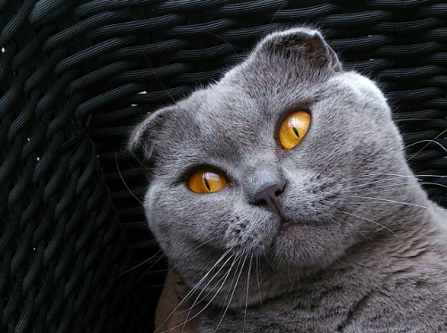 Scottish Fold cat. Blue with amber eyes.