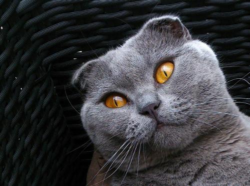 Scottish Fold cat. Blue with amber eyes.