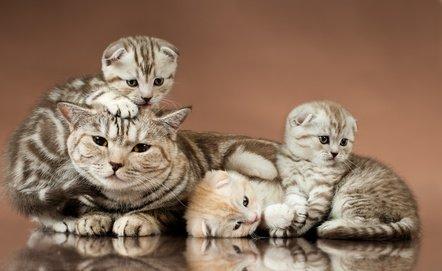 Scottish Fold cat with kittens