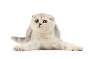 silver scottish fold cat