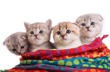 Litter of Scottish Fold kittens