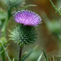 Beautiful Scottish Thistel