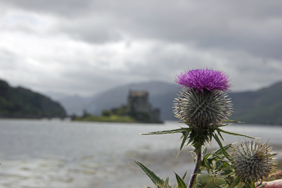 Scottish Thistle with castle in background