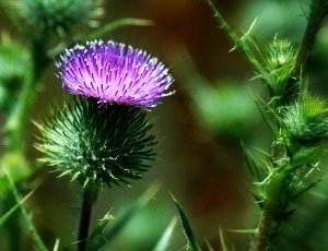 Beautiful Scottish Thistle - A National Emblem