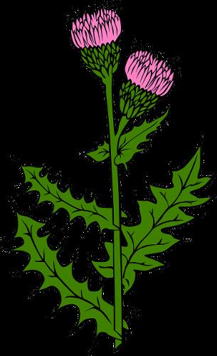 Thistle Scotch Onopordum Acanthium Organically Grown Flower Seeds